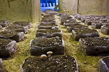 Champignon de Paris mushrooms, Psalliota Hortensis, growing in former troglodyte cave in the Loire Valley, France