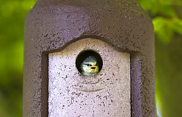 Bluetit hungry young nestling bird awaits feeding in a garden bird box, The Cotswolds, Oxfordshire, England, United Kingdom