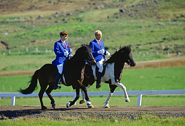 Riders doing tolt paces with Icelandic horses at Dalur, Iceland