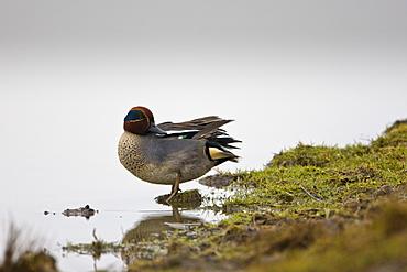 Teal Duck in pond North Norfolk, UK