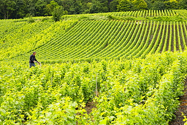 Worker using rotivator to remove weeds among Chardonnay grapevines at vineyard in Avize in the Champagne-Ardenne region, France, Europe