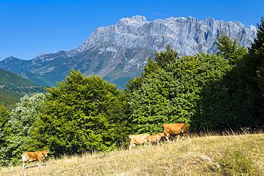 Herd of cattle in meadow in the Picos de Europa mountains (Peaks of Europe), Castilla y Leon, Northern Spain, Europe