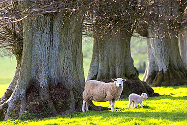 Sheep and lamb (Ovis aries)  in spring in The Cotswolds, Gloucestershire, England, United Kingdom, Europe