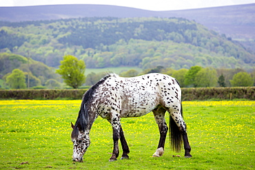 Roan coloured pony (Equus caballus) grazing in field of buttercups on Exmoor in Somerset, England, United Kingdom, Europe