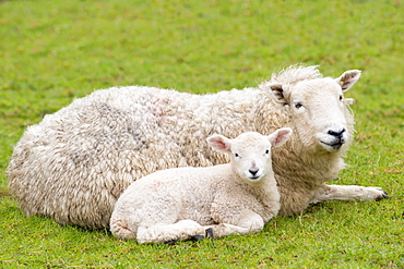 Sheep ewe and lamb in Exmoor National Park, Somerset, England, United Kingdom, Europe