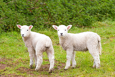 Young lambs in Exmoor National Park, Somerset, England, United Kingdom, Europe