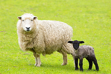 Sheep ewe and black lamb in Exmoor National Park, Somerset, England, United Kingdom, Europe
