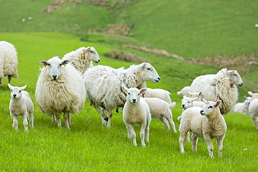 Flock of sheep ewes and lambs in the Brecon Beacons in Wales, United Kingdom, Europe