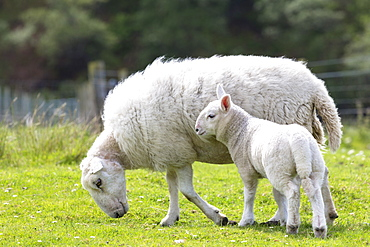 Sheep, ewe with lamb, at Coigach in Western Scotland, United Kingdom, Europe