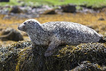 Common seal (harbour seal) (Phoca vitulina) adult basking on rocks and seaweed by Dunvegan Loch, Isle of Skye, Inner Hebrides, Scotland, United Kingdom, Europe