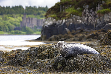 Common seal (harbour seal) (Phoca vitulina) adult basking on rocks and seaweed by Dunvegan Castle and Loch, Isle of Skye, Inner Hebrides, Scotland, United Kingdom, Europe