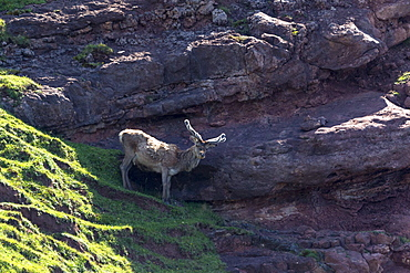 Male red deer stag (Cervus elaphus) balances on precipice of cliff on the remote Isle of Rhum (Rum), Inner Hebrides and Western Isles, Scotland, United Kingdom, Europe