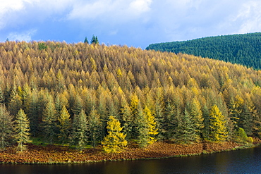 Larch trees and conifers in coniferous forest plantation for timber production in the Brecon Beacons, Powys, Wales, United Kingdom, Europe