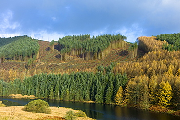 Conifers and larch trees in coniferous forest plantation for timber production in Brecon Beacons mountain range, Powys, Wales, United Kingdom, Europe