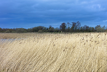 Grasses and reeds in a reedbed in the marshes of The Somerset Levels Nature Reserve, Somerset, England, United Kingdom, Europe