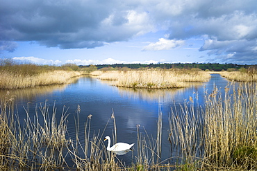 Tranquil atmospheric scene with mute swan (Cygnus olor), in reeds of reedbed marshes, The Somerset Levels Nature Reserve, Somerset, England, United Kingdom, Europe