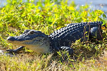 Juvenile American alligator basking at J.N. Ding Darling National Wildlife Reserve, Captiva Island, Florida, USA