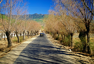 Small saloon car driving between pollarded Willow trees on a road in Bhutan