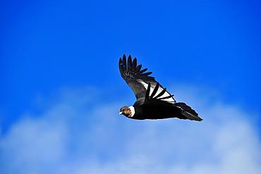 Andean condor (Vultur Griphus) adult male, Patagonia, Argentina, South America