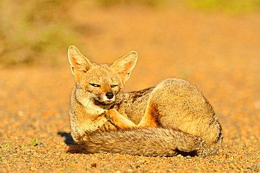 Grey fox (Lycalopex gymnocercus) adult male, Peninsula Valdes, Patagonia, Argentina, South America