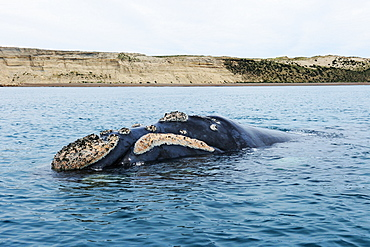 Southern right whale (Eubalaena Australis), Patagonia, Argentina, South Atlantic Ocean, South America