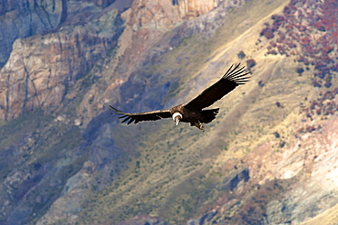 Andean Condor (Vultur Gryphus) juvenile female, Santa Cruz, Patagonia, Argentina, South America