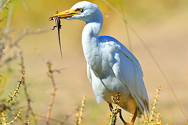 Cattle egret (Bubuctus Ibis) hunting a lizard, Patagonia, Argentina, South America