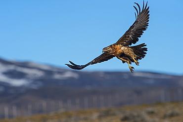 Black chested buzzard eagle (Geranoaetus melanoleucus), Patagonia, Argentina, South America