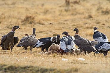 Andean Condor (Vultur Gryphus), Patagonia, Chile, South America