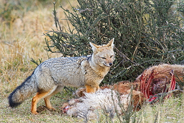 Grey fox (Lycalopex gymnocercus), Patagonia, Chile, South America