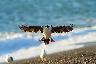 Imperial cormorant (Pharacrocorax atriceps), Patagonia, Argentina, South America