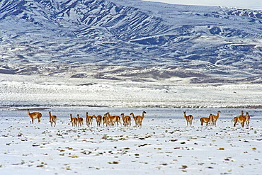 Guanaco (Lama guanicoide), Patagonia, Argentina, South America