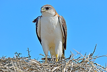 Red backed hawk (Buteo Polyosoma) with her chick on the nest, Peninsula Valdes, Patagonia, Argentina, South America