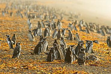 Magellanic penguins (Spheniscus magellanicus), Patagonia, Argentina, South America