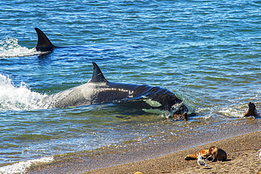 Orca (Orcinus orca) and South American sea lion (Otaria flavescens), Patagonia, Argentina, South America