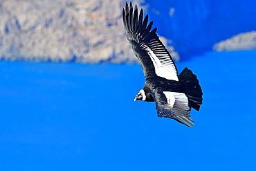 Andean Condor (Vultur Grifus), Torres del Paine, Patagonia, Chile, South America