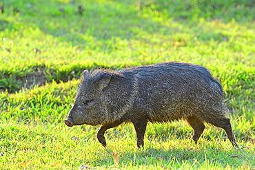 Pecari (Pecari tajacu), Pantanal, Mato Grosso, Brazil, South America