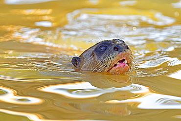 Giant otter (Pteronura Brasiliensis), Mato Grosso, Pantanal, Brazil, South America