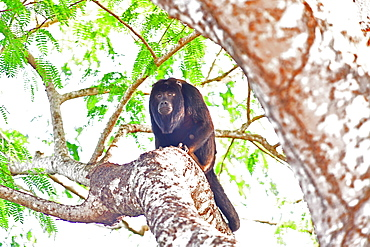 Black howler monkey (Alouatta Caraya), Pantanal, Mato Grosso, Brazil, South America
