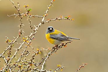 Patagonian Sierra Finch (Phrygilus patagonicus), Patagonia, Chile, South America