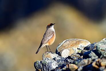 Cinnamon bellied ground tyrant (Muscisaxicola capistrata), Patagonia, Chile, South America