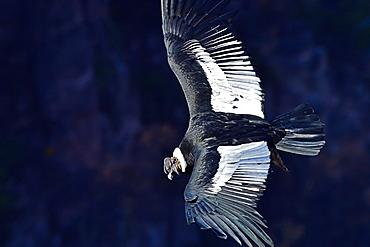 Andean Condor (Vultur Gryphus), adult male, Patagonia, Argentina, South America