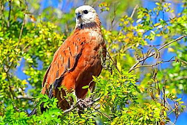 Black collared hawk (Busarellus Nigricoli), Pantanal, Mato Grosso, Brazil, South America