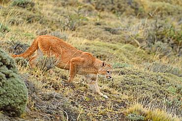 Puma (Puma concolor), Patagonia, Chile, South America