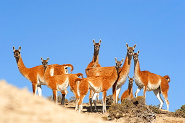 Guanaco (Lama guanicoide) pod over dunes, Peninsula Valdes, Patagonia, Argentina, South America