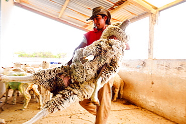 Shearing, Gaucho holding a Merino Australian sheep, Peninsula Valdes, Patagonia, Argentina, South America