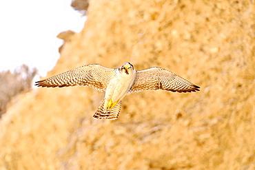 Austral Peregrine falcon (Falco Peregrinus Cassini) adult female, Peninsula Valdes, Patagonia, Argentina, South America