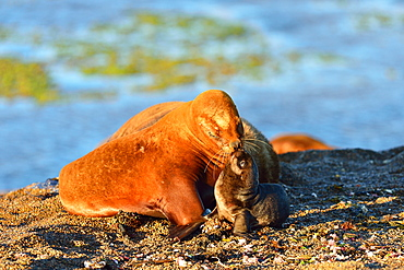 South American sea lion, Otaria Flavescens, Female with it baby pup, Peninsula Valdes, Patagonia, Argentina, South America