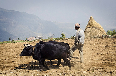 A man ploughs his terraced-field, Dhampus, Annapurna Conservation Area, Nepal, Asia