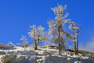 Ice encrusted dead trees against clear skies, Mammoth Hot Springs, Yellowstone National Park, UNESCO World Heritage Site, Wyoming, United States of America, North America